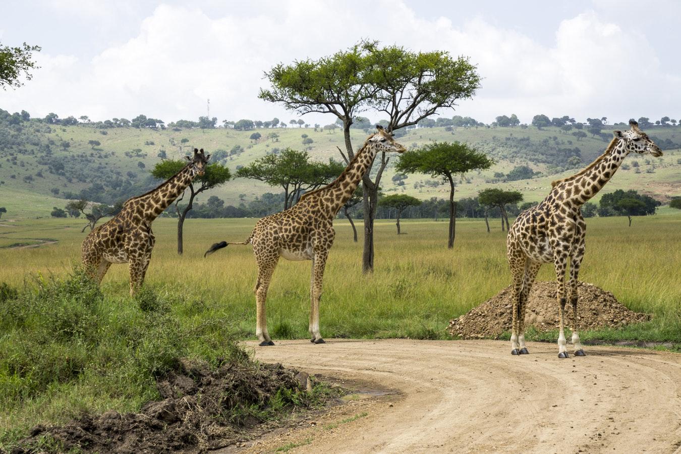 Giraffer Masai Mara