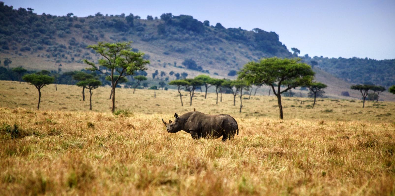 Noshörning Masai Mara