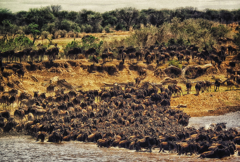 Den Stora Migrationen Masai Mara