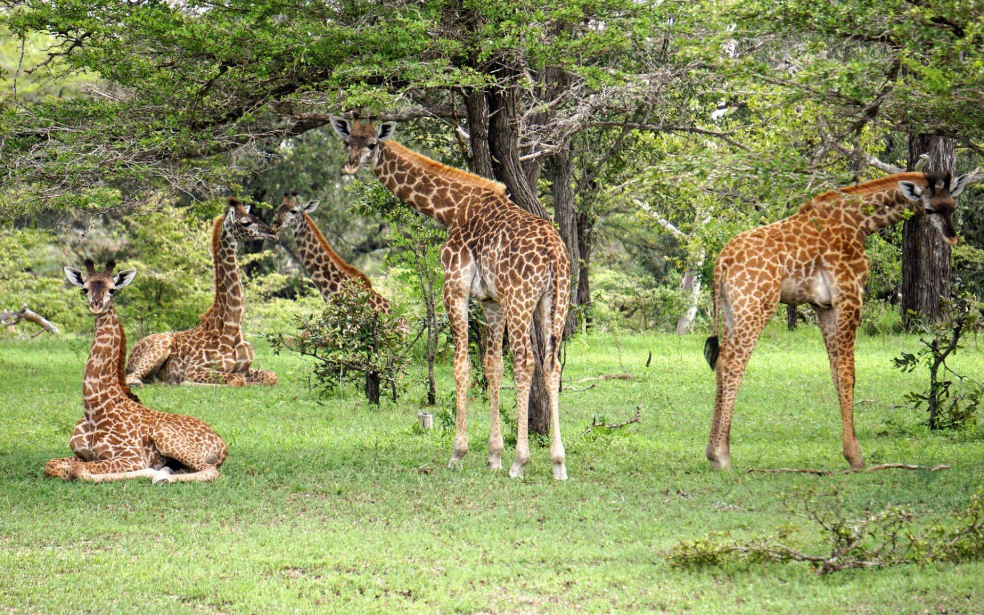 Giraffer i Selous Tanzania