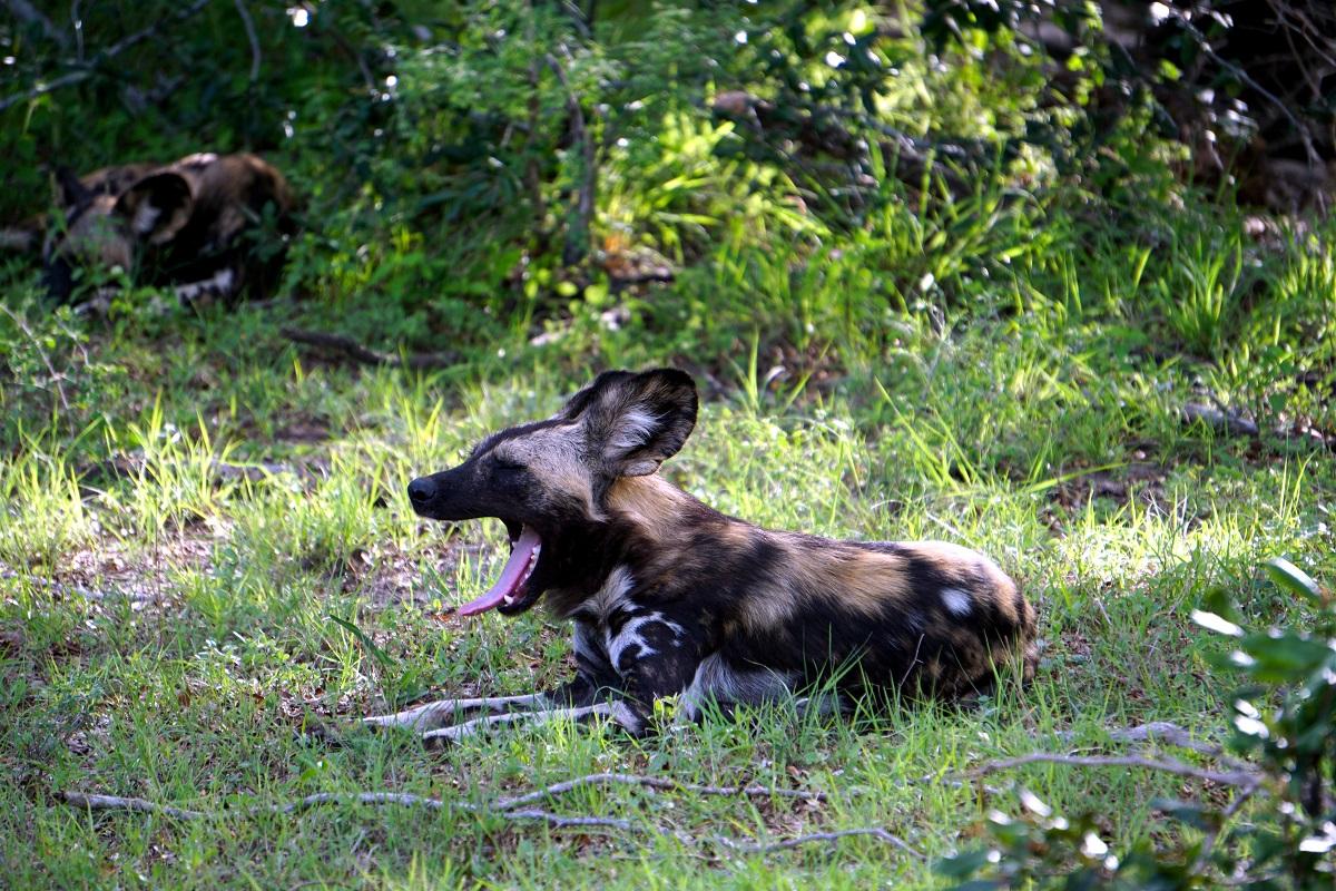 Afrikansk Vildhund