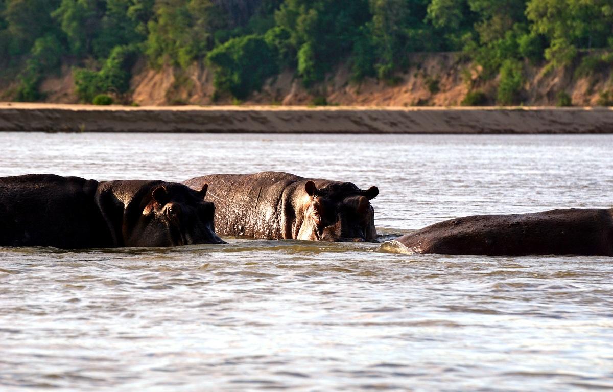 Flodhästar i Selous Tanzania