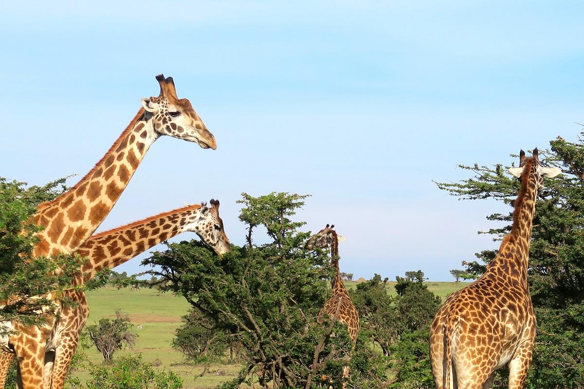 Giraffer bland träden