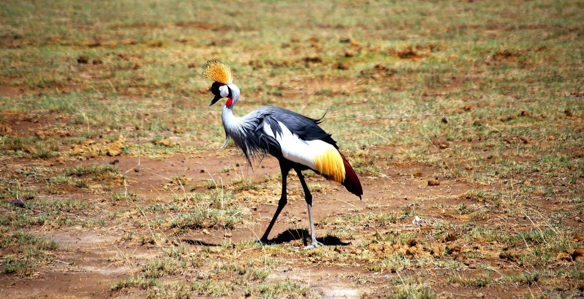 Grå krontrana i Selous Tanzania
