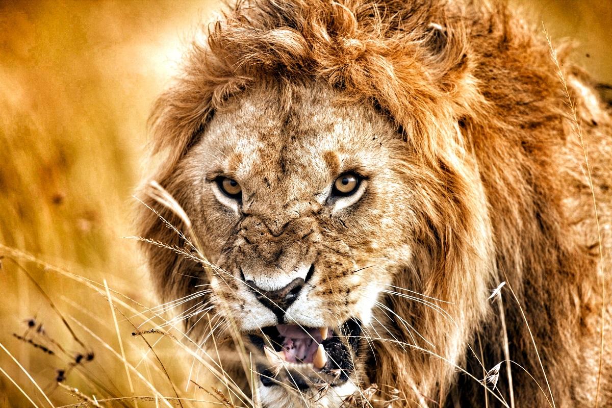 Stor lejonhanne