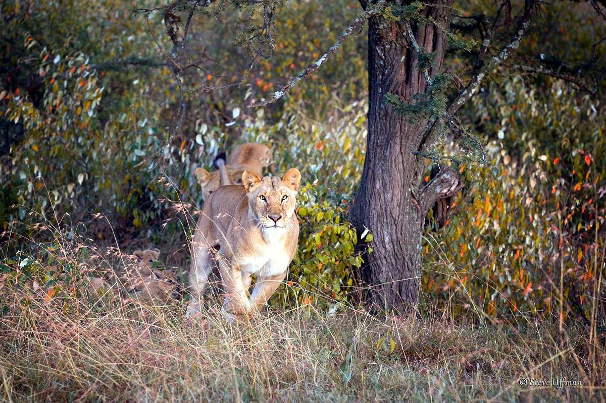 Springande lejonhona