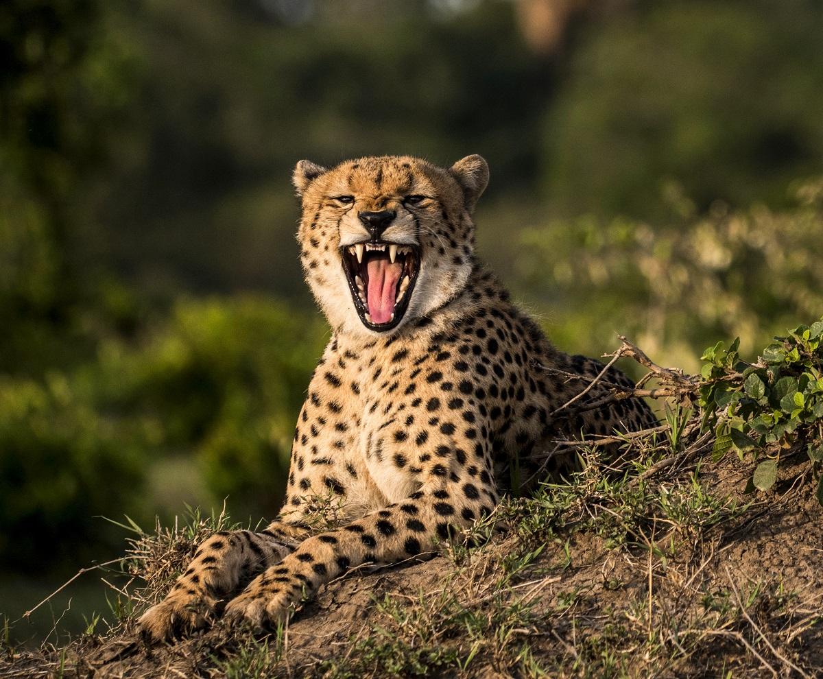 Majestätisk gepard