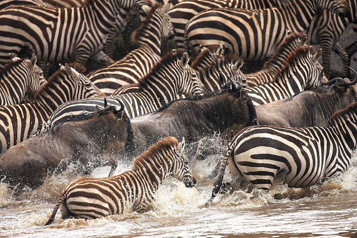 Zebror och gnuer som korsar floden Mara