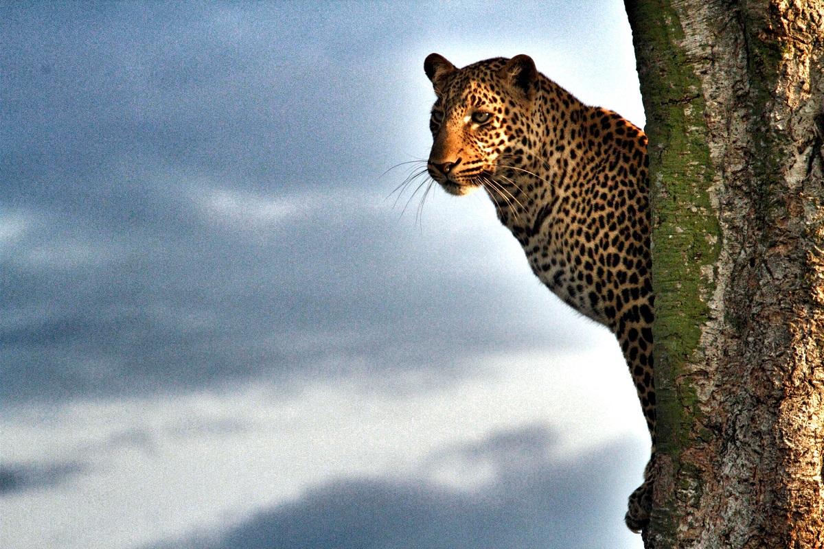 Leopard uppe i träd