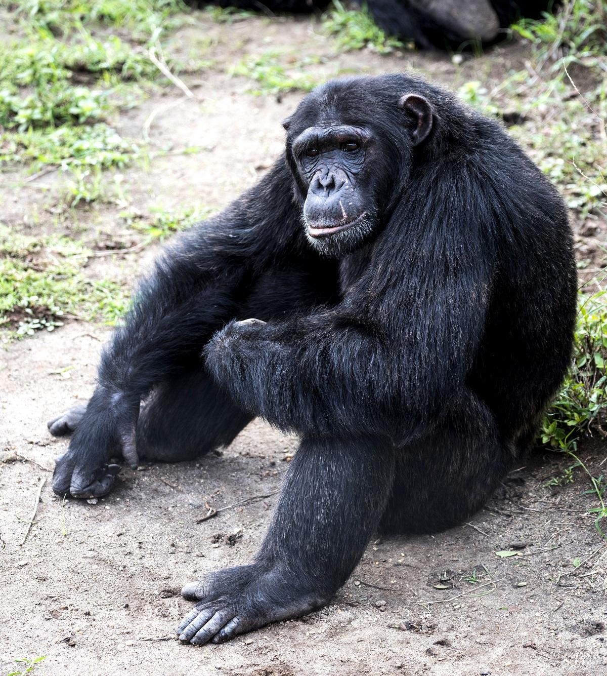 Sittande schimpans