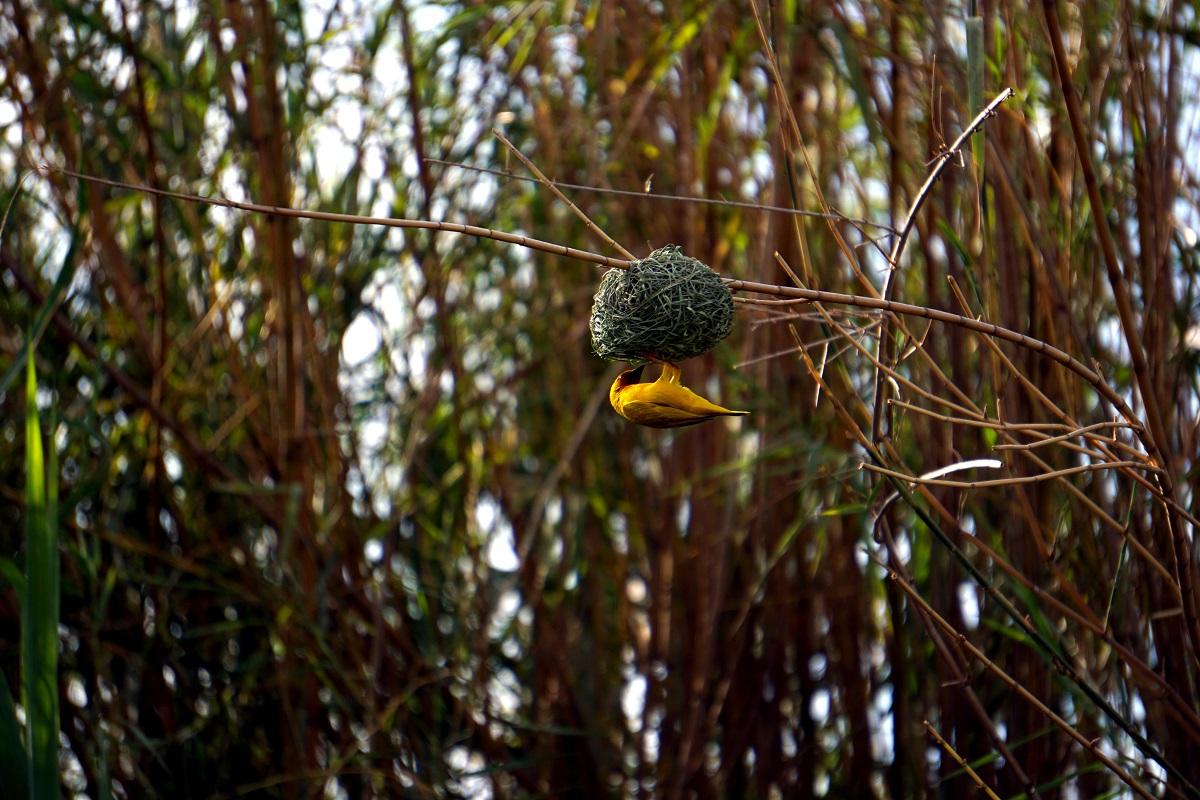 Gul vävare på fågelbo