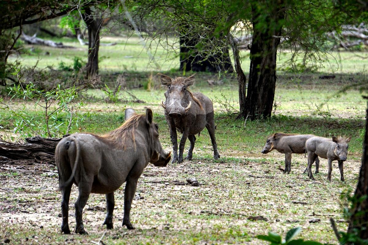 Vårtsvinsfamilj i Selous Tanzania